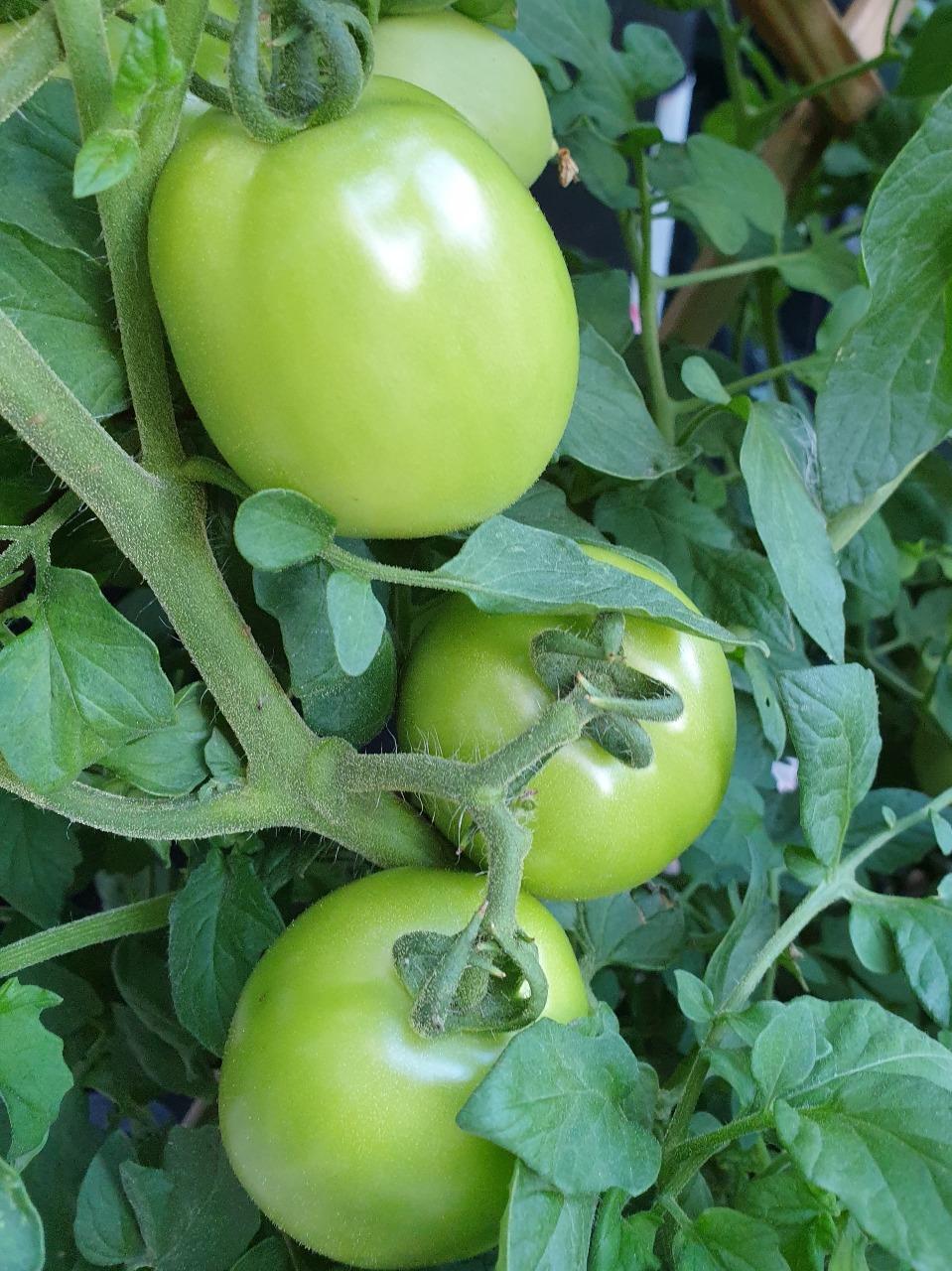 I nostri pomodori verdi